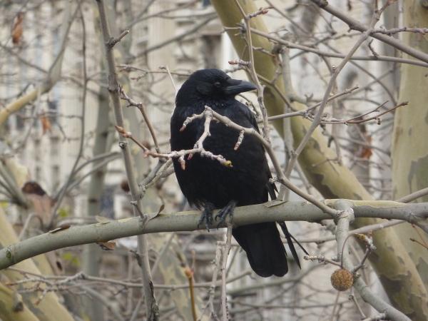 un corbeau à Paris