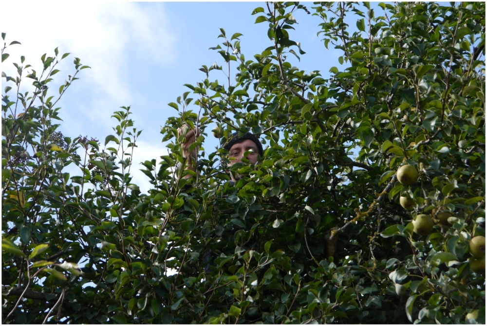 collecting pears