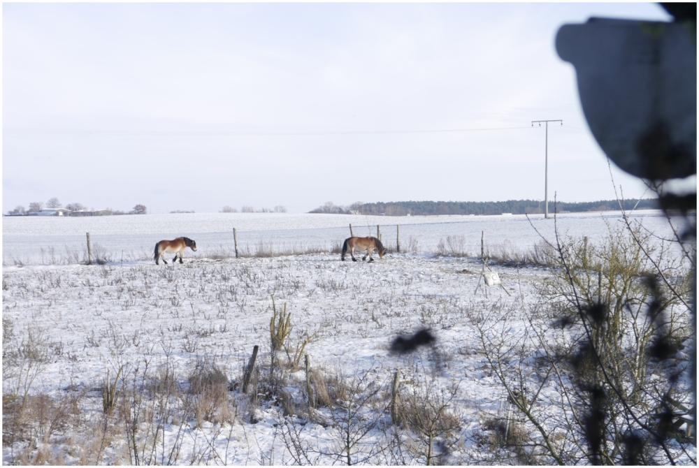 winterhorses