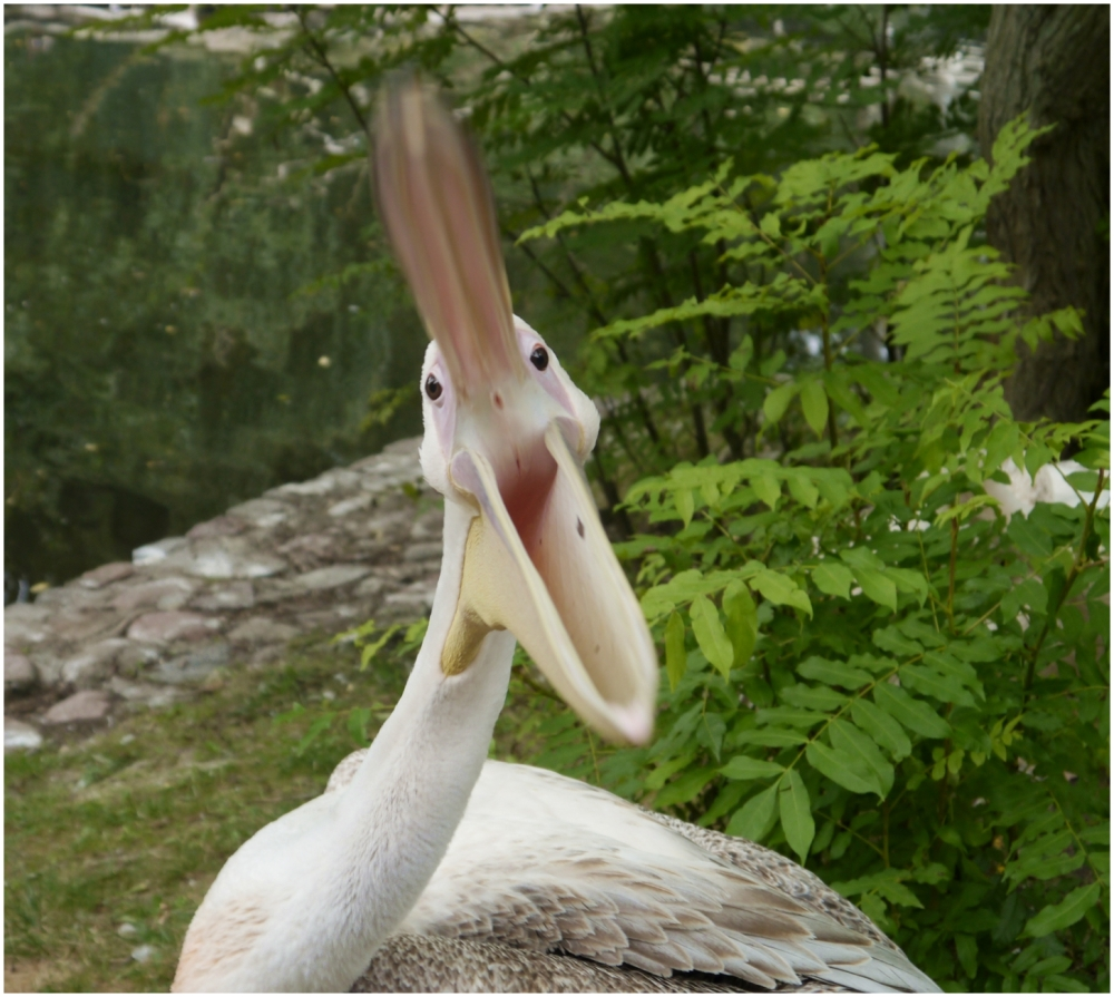 angry pelican