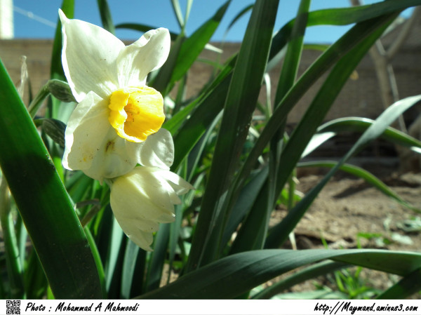 Narcissus A