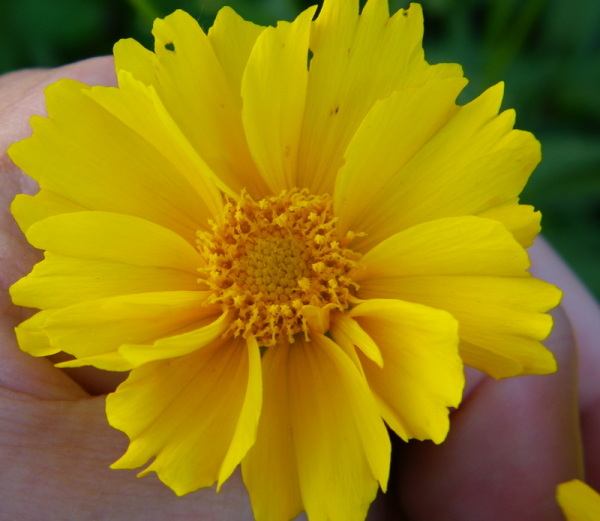 Yellow Tickseed (Coreopsis)