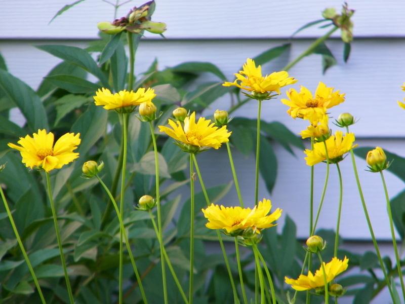 Yellow Tickseed (Coreopsis)