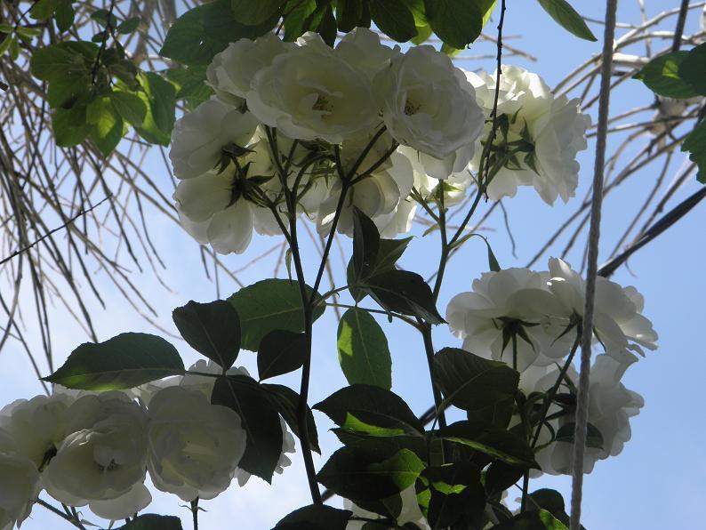 se complementa el cielo con las rosas blancas