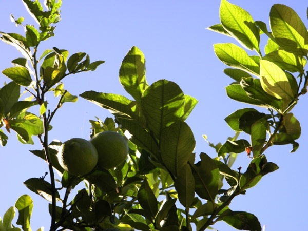 el limonero presenta sus frutos