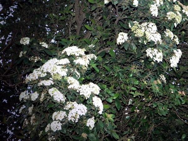 Laurentina, Flor de invierno