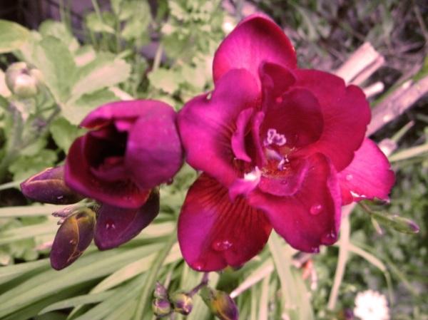 flor de Fresias
