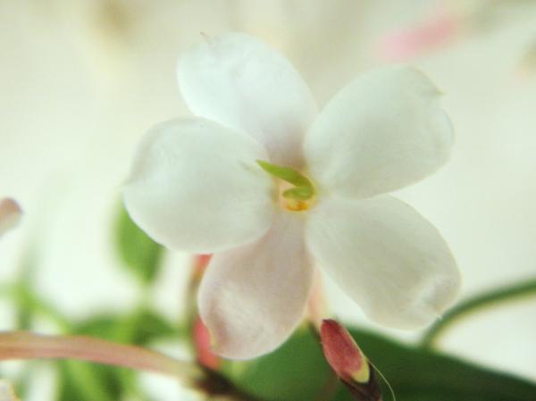 Flor de Jazmín