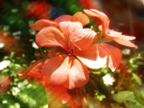 Flor de Malvon