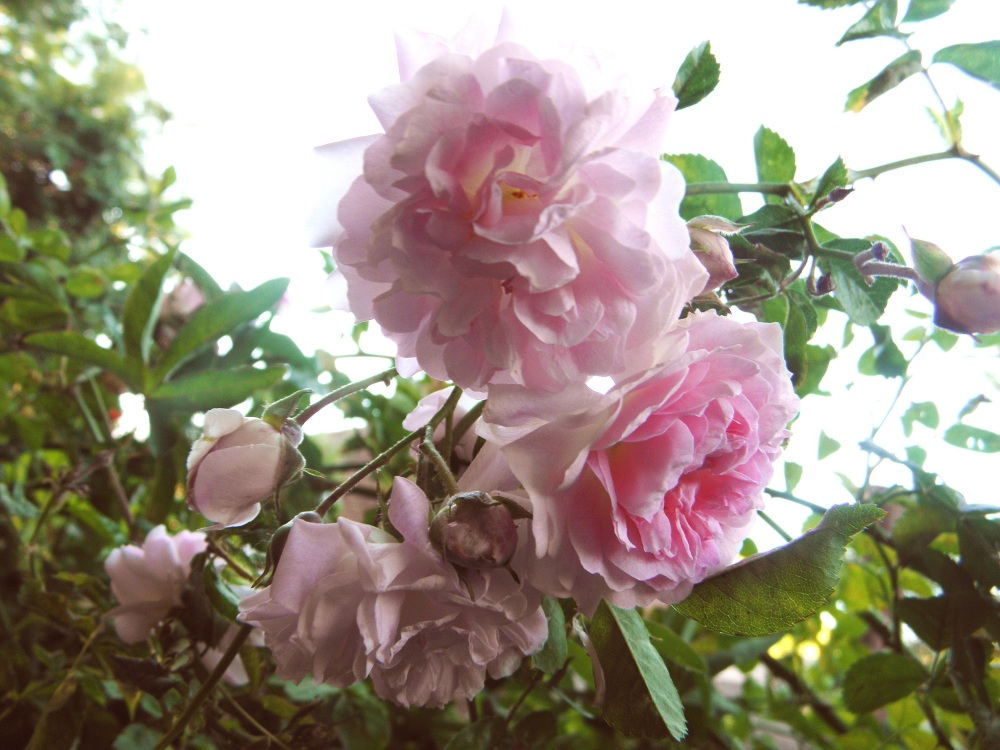 Rosa Trepadora