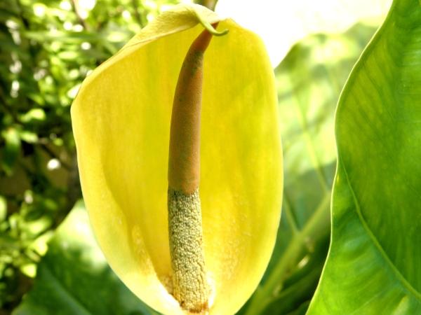 Flor de Potus