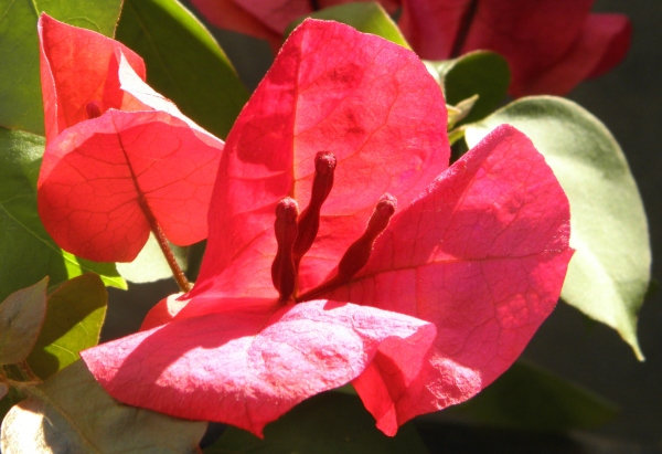 Flor de Santa Rita