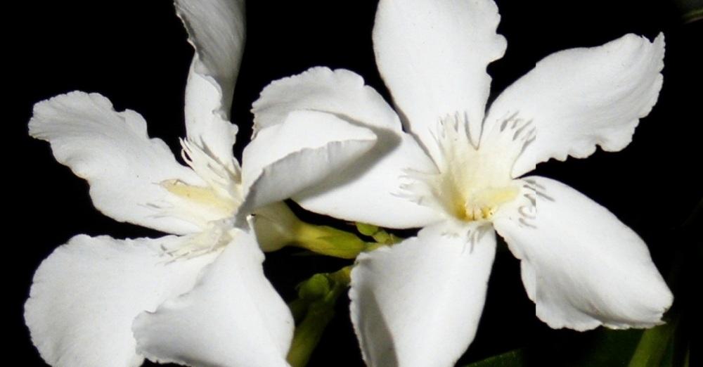 Flor de laurel de jardín