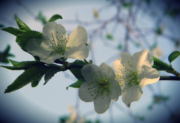 Primeras flores de Ciruela