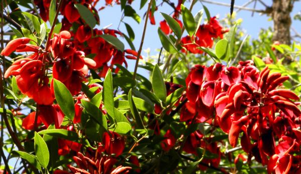 Ceibo - Flor nacional de Argentina