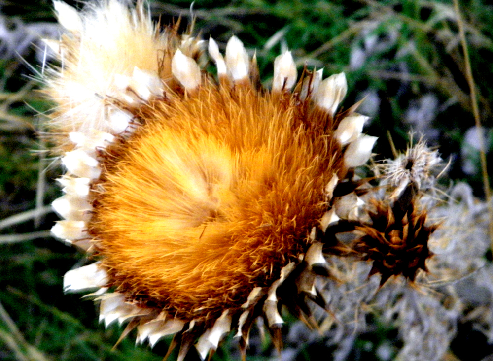 Flor de cardo