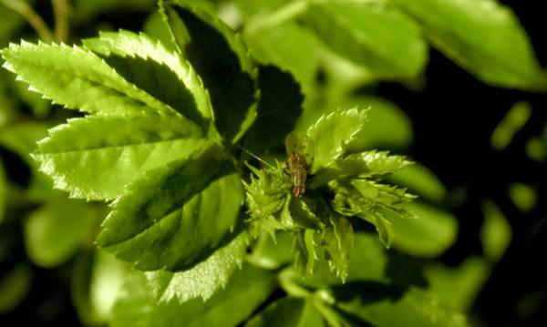 Mosca herbácea