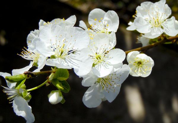 Flores de ciruela 1 - 2