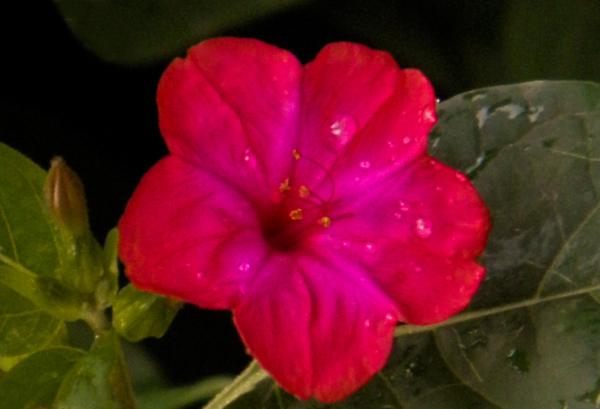 Flor de noche