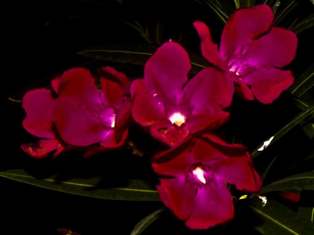 Laurel de jardin