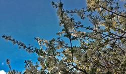 Flores de ciruela