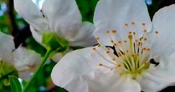 Flores del ciruelo