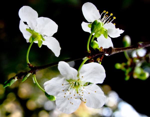 Flores de ciruelo 1