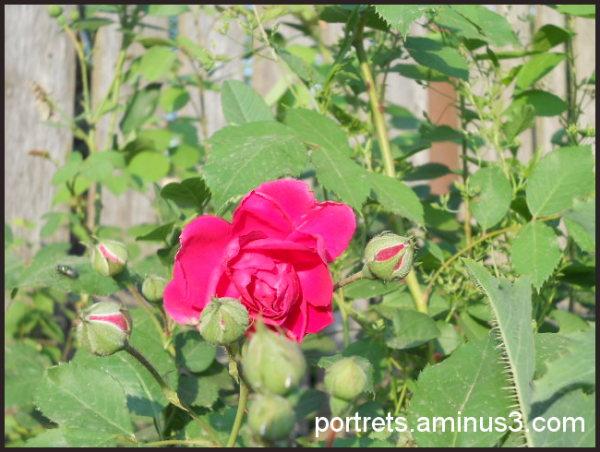 Roses- 2