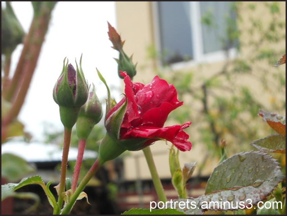 A rose 3/3