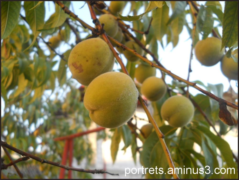 Unripe peaches