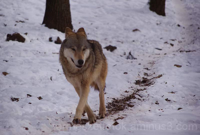 Farkas a Budakeszi Vadasparkban