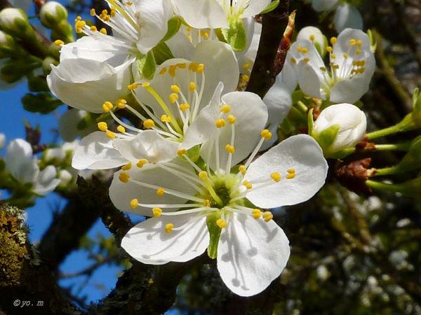 Quelques fleurs de fruitiers  # 1
