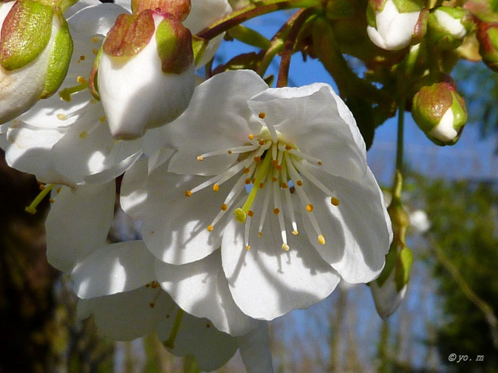 Quelques fleurs de fruitiers  # 2