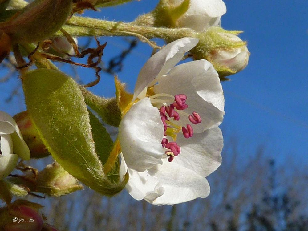 Quelques fleurs de fruitiers  # 3