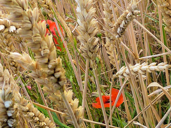 Dans les blés  # 2