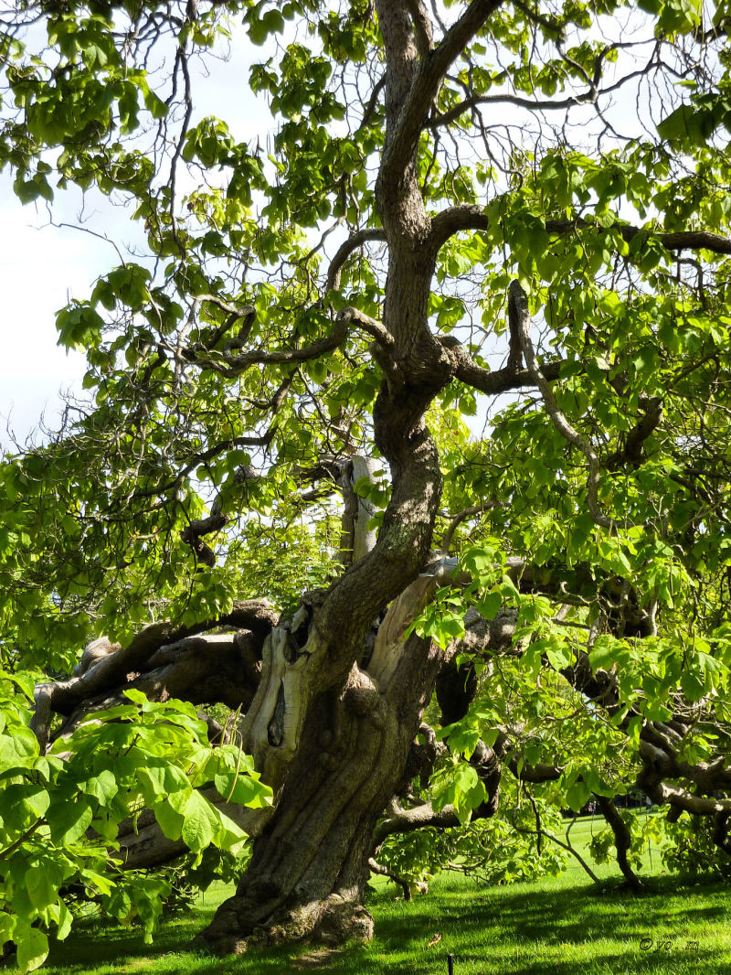 Un arbre bicentenaire