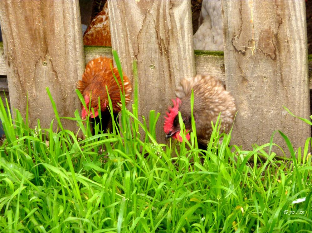 Poules élevées en plein air, au sol, en cage