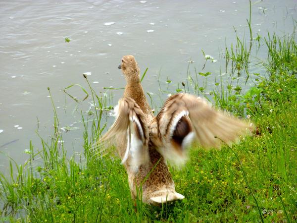 La danse du canard