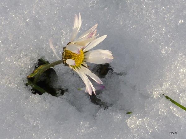 La pâquerette perce-neige