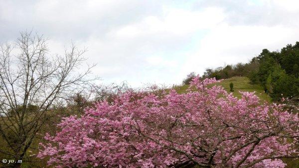 Sakura  # 1