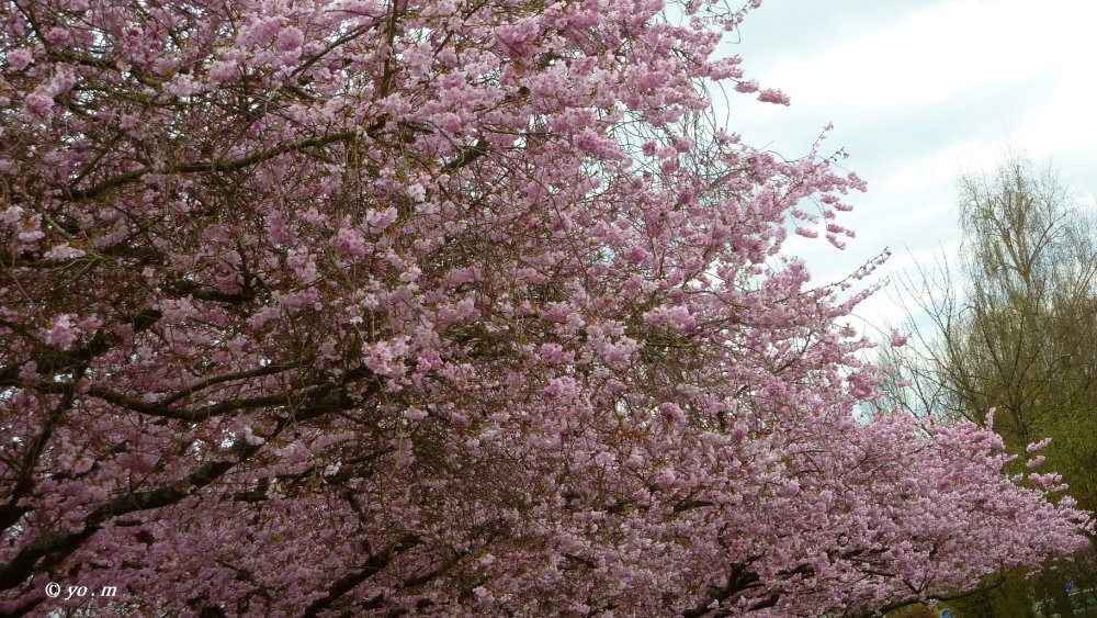Sakura  # 2