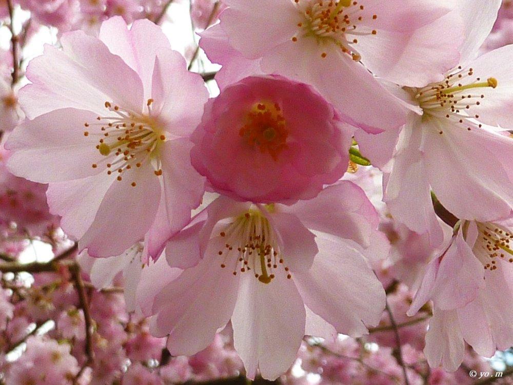 Sakura  # 3