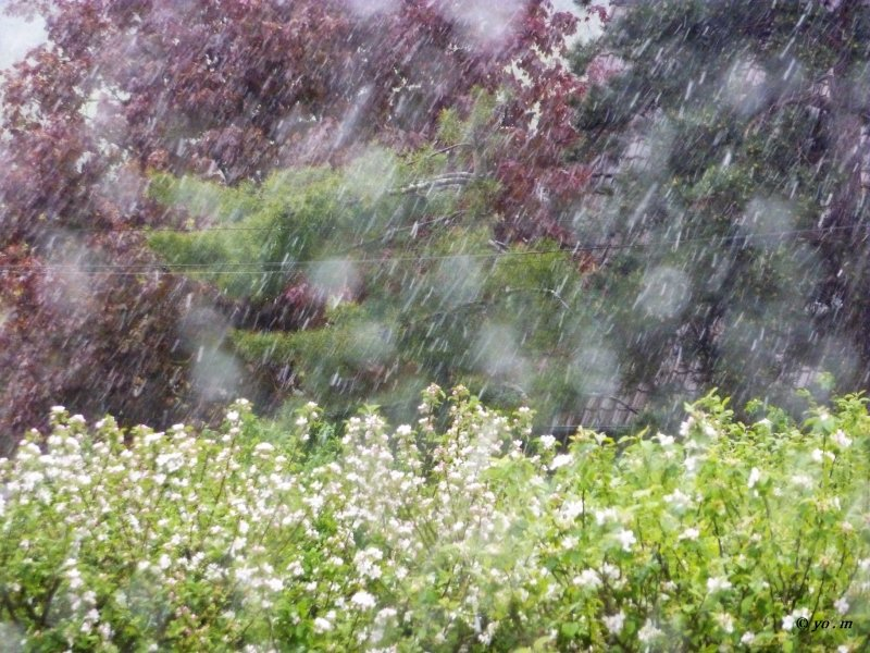 Il a neigé sur les pommiers en fleurs