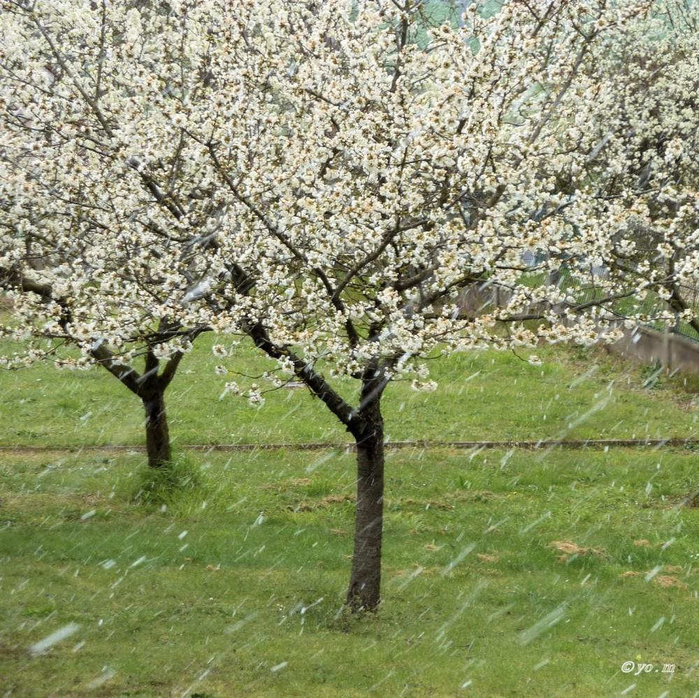 Neige d'avril  # 1