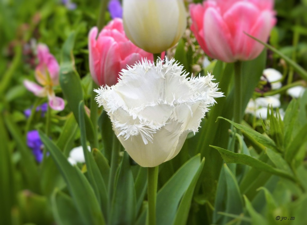Les dernières tulipes