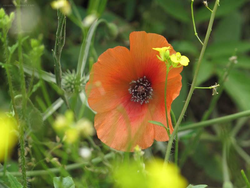 Nature`s Horn, flower