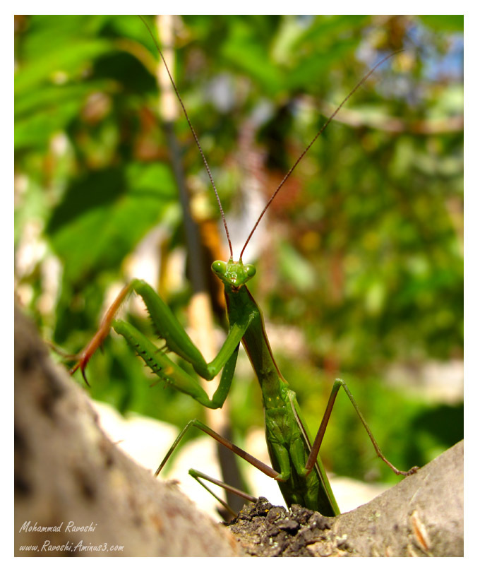 mantis, macro, nature, insect