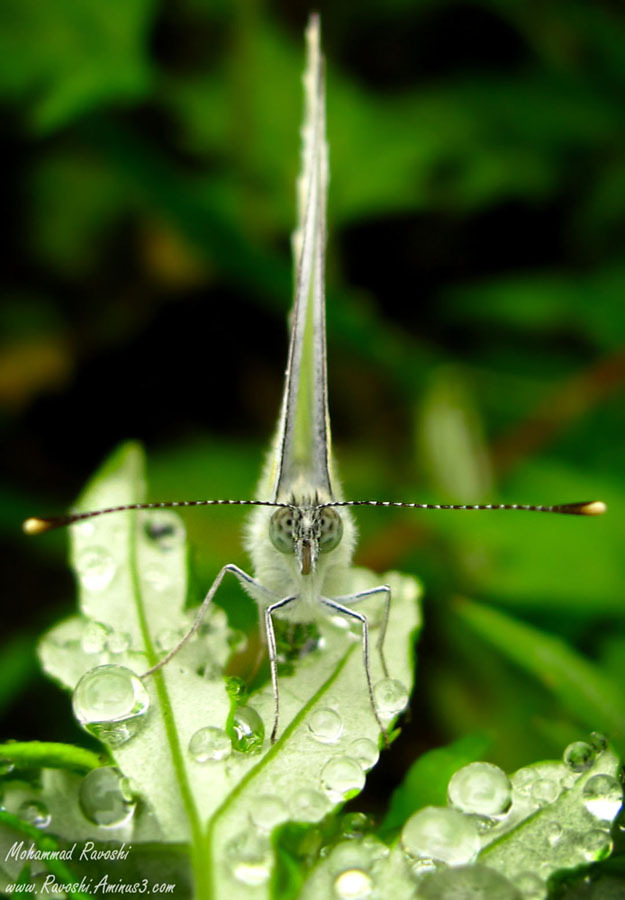 Butterfly, dew, leaf, nature, insect