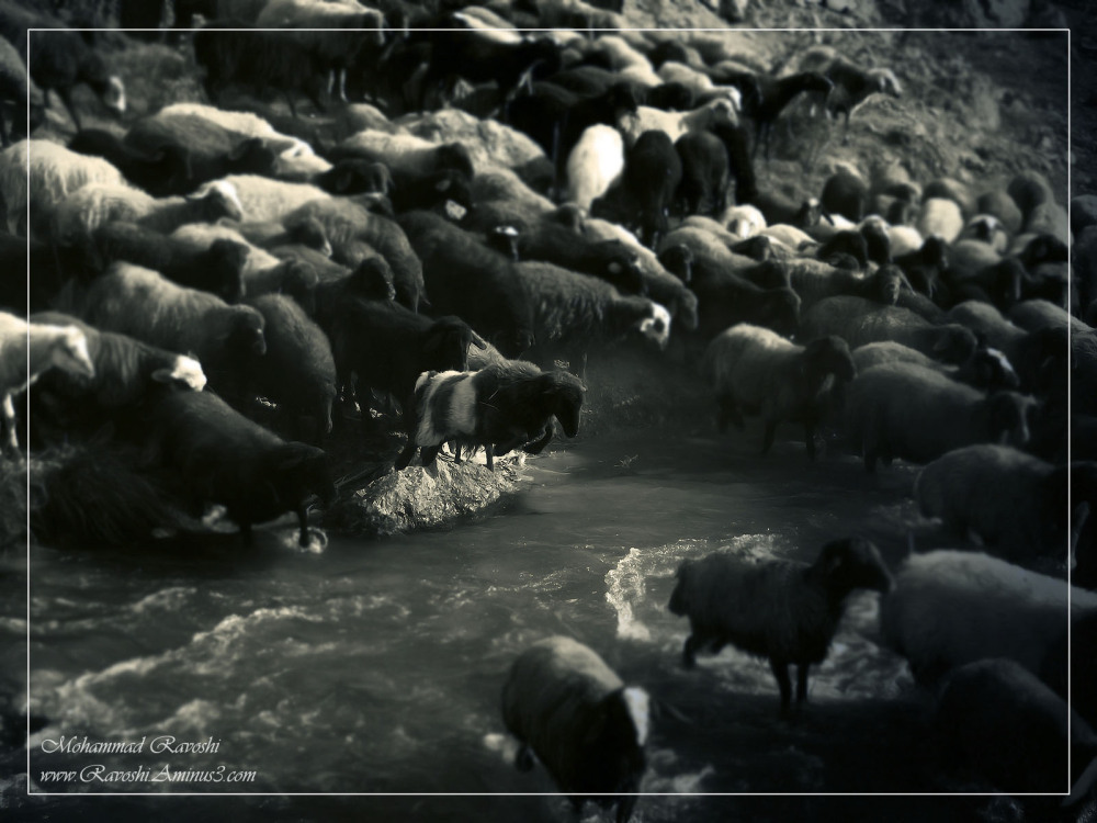 sheep, river, goat