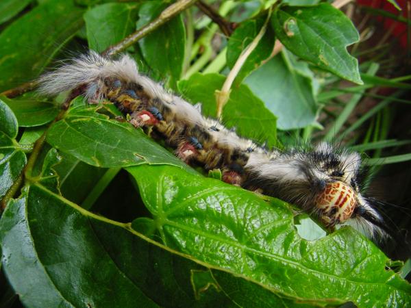 Most unusual caterpillar I've ever seen